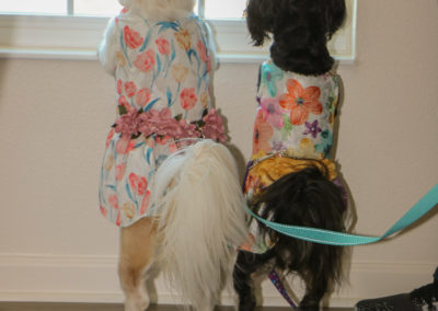 Two small dogs standing on their hind legs looking out a window